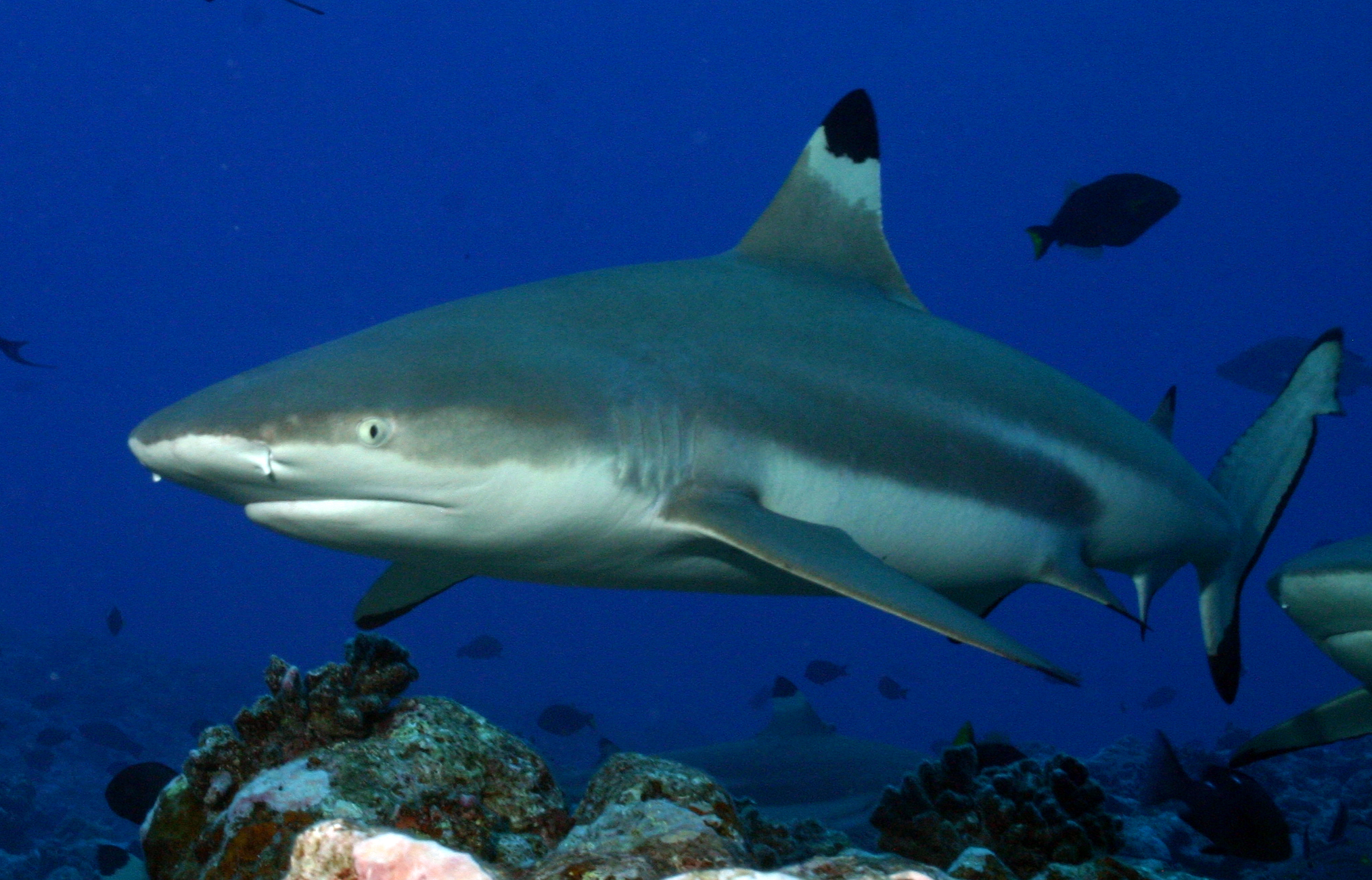 Black_tip_reef_shark.jpg