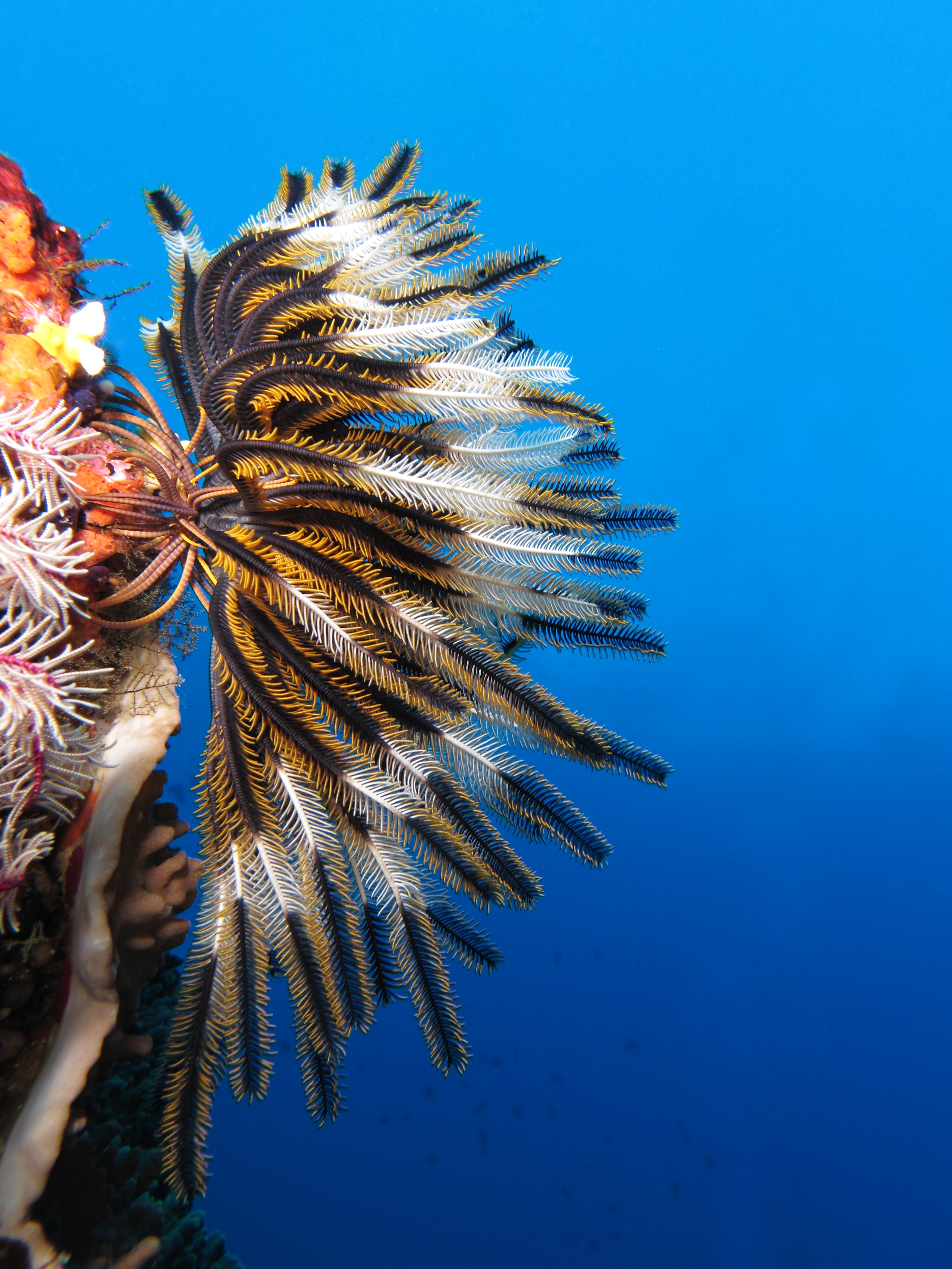 Crinoid_on_the_reef_of_Batu_Moncho_Island.jpeg